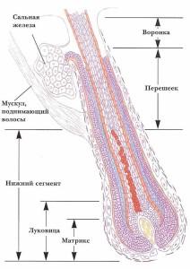 Физиология волоса и кожи головы