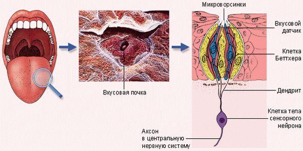 Строение рецептора