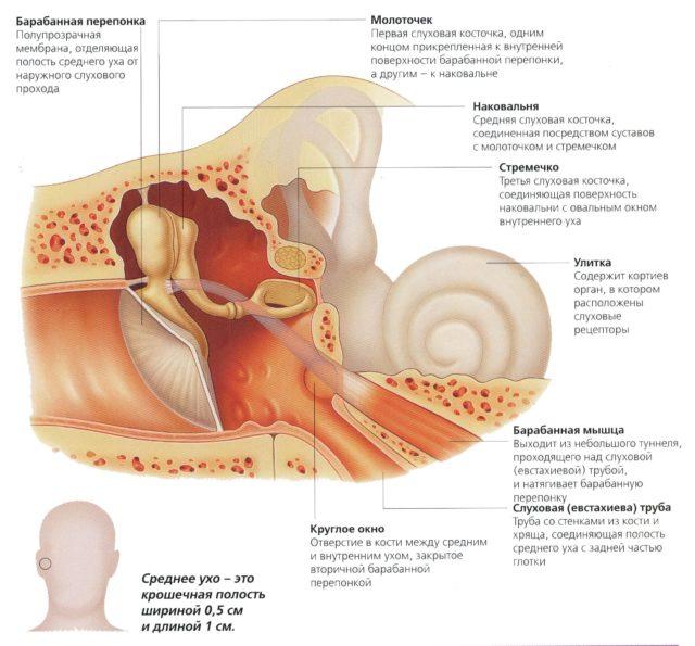 Самый маленький сустав в теле человека находится в ухе гигрома коленного сустава у детей